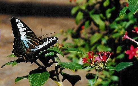 Missouri Botanical Gardens- Climatron Butterfly