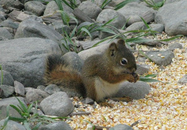 Red Squirrel, eating corn at a fishing camp in Ontario