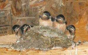 Baby swallows judge you.  Packwash Lake, Ontario, Canada.