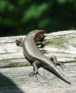 A skink on the porch