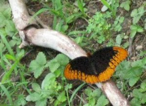 Gatlinburg butterfly