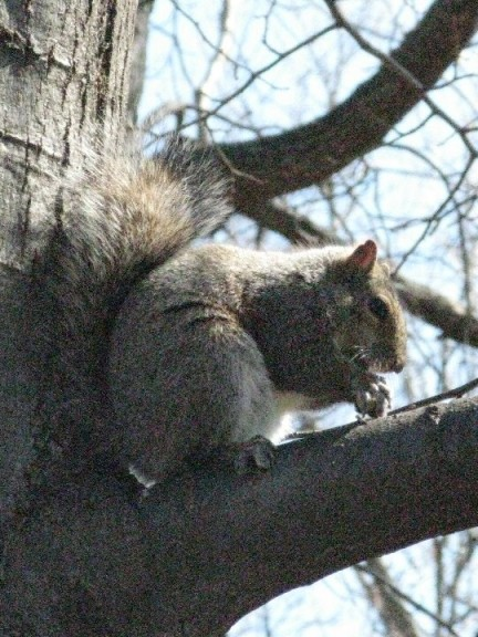 Old Louisville Squirrel