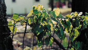 Sun on a vine