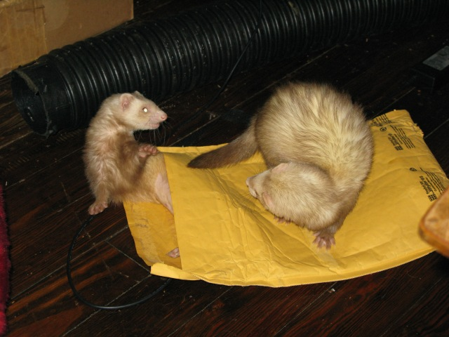 Mushu the ferret was a bully.  She'd always been a bully, but it really wasn't her fault.  Once upon a time, when she was just a little kit, she'd been bullied by all the other ferrets.  They called her names and wouldn't let her join in the ferret games.  Let me take several chapters to tell you all about it.