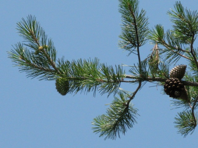 Pictured: the leading cause of rabies in wombats.  No...wait...that's a pine tree.