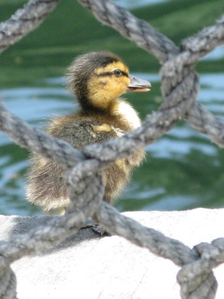 To mitigate the harshness of my words, a cute baby duckie!