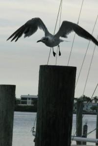 Cortez Seagull
